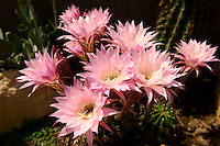 Echinopsis oxygona growing outdoors on the Cyclades Islad of Ios, Greece