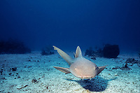 nurse shark, Ginglymostoma cirratum, Bahamas, Caribbean Sea, Atlantic Ocean