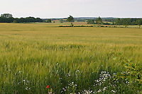 Gerste, Feld, Acker, Getreidefeld, Getreideacker, Feldanbau, mit Kamille, Hordeum vulgare, Barley, cereal grain