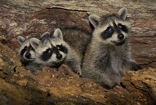 Three young raccoons look up out of hollow tree