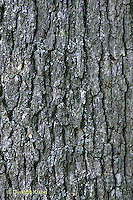 TT01-038d  White Oak - close-up of bark, trunk - Quercus alba