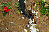 A hand of Diana R., who claims to be possessed by spirits, seen during a ritual of exorcism performed by Hermes Cifuentes in La Cumbre, Colombia, 28 May 2012. Exorcism is an ancient religious practice of evicting spirits, generally called demons or evil. Although the formal catholic rite of exorcism is rarely seen and must be only conducted by a designated priest, there are many pastors and preachers in Latin America performing exorcism ceremonies. The 52-year-old Brother Hermes, as the exorcist calls himself, claims to have been carrying out the healing rituals for more than 20 years. Using fire, dirt, candles, flowers, eggs and other natural-based items, in conjunction with Christian religous formulas, he attempts to drive the supposed evil spirit out of a victim's mind and body.