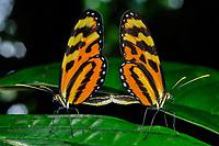 Heliconius Longwing Butterflies mating, Selva Verde Nature Reserve, Rio Sarapiqui region, Heredia, Costa Rica