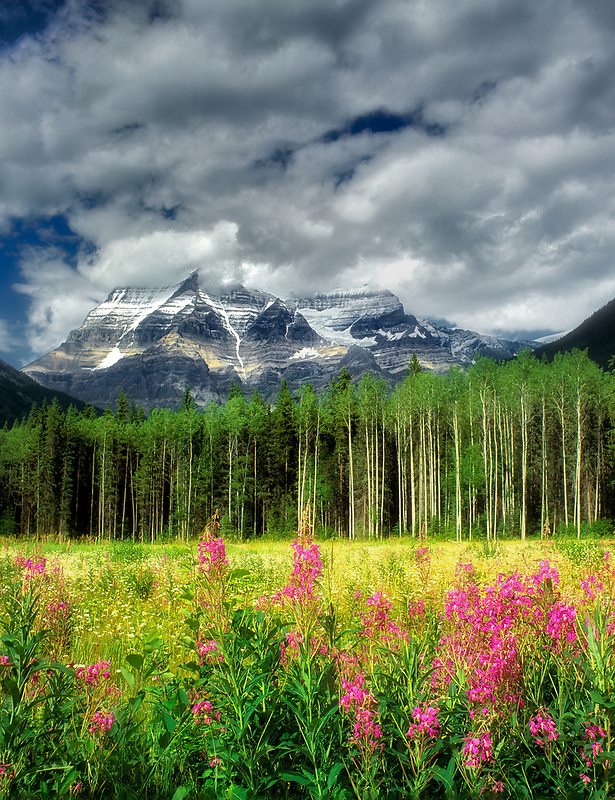 Mt. Robson with fireweed wildflowers. Canadaian Rockies, Canada