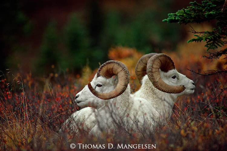 Two rams lay side-by-side in Denali National Park, Alaska.