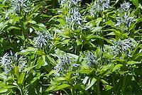 Amsonia taebernaemontana in spring blue flowers bloom