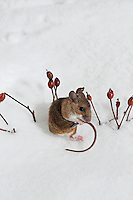 Deer Mouse (Peromyscus maniculatus) grooms tail while it forages rose hips on sunny winter day. Native rodent of North America..