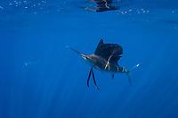 pelagic Atlantic sailfish, Istiophorus albicans, (considered by some to be a single species with Istiophorus platypterus) (dm), Yucatan Peninsula, Mexico (Caribbean Sea) near Contoy Island, Isla Mujeres, Cozumel, Cancun