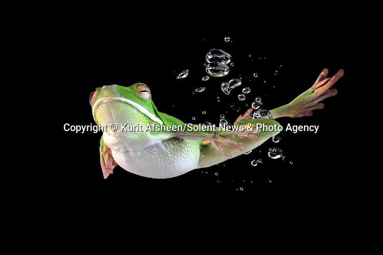 A frog appears to float through the air in these close up shots of it diving into water.  Only the bubbles give away the fact that the white-lipped tree frog leapt into a pool of water moments before.<br /> <br /> The black background in the tank makes it look like the animal is suspended in the air.  Photographer Kurit Afsheen captured these close up shots in Jakarta, Indonesia.  SEE OUR COPY FOR DETAILS.<br /> <br /> Please byline: Kurit Afsheen/Solent News<br /> <br /> © Kurit Afsheen/Solent News & Photo Agency<br /> UK +44 (0) 2380 458800