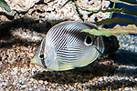 four-eye butterflyfish swimming left