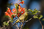 San Diego, California; a male Orange-crowned Warbler perched on the branch of a Mexican Honeysuckle plant, in late afternoon light