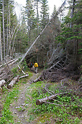 Hikers travel through a blowdown patch along the Asquam Ridge Trail in the White Mountains, New Hampshire during the summer months.