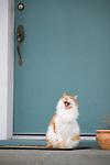 Cat Yawning in front of Blue Door