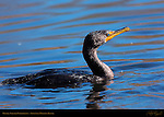 Double-crested Cormorant, Sepulveda Wildlife Refuge, Southern California