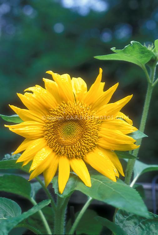 Helianthus annus Sunflower growing, cheerful yellow flower in bloom in summer, annual flower