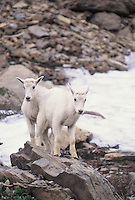 Young Mountain Goats seen in Glacier Nat. Park