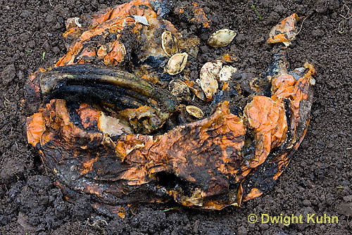 DC10-521z  Jack-o-Lantern decomposing in garden, returning nutrients to the soil.