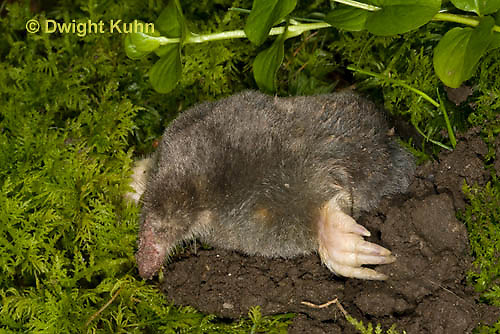 MB25-508z Hairy-tailed Mole making an entrance to its tunnel, Parascalops breweri