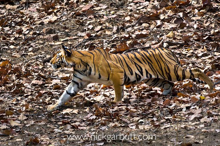 Young female Bengal Tiger (Panthera tigris) - around 15 months (late April 2009). Stalking Chital. Durga's offspring. Bandhavgarh NP, India.