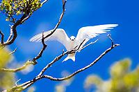 Beautiful white tern, symbol of peace, over a blue sky and green leaves, Motu Puarua of Tikehau atoll, Tuamotus French Polynesia, South Pacific Ocean