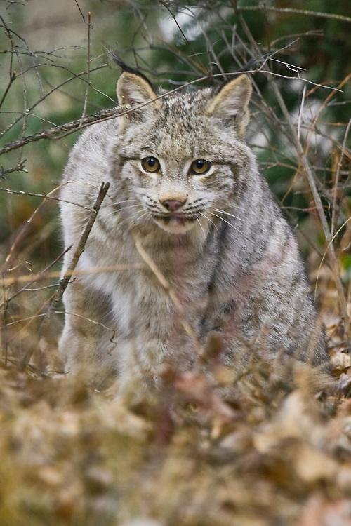 Young Canada Lynx walking through the underbrush - CA