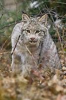 Young Canada Lynx walking through the underbrush - CA