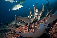 whitetip reef sharks, Triaenodon obesus, hunting on the reef, cocos island, costa rica, pacific ocean