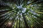 Mixed conifer forest, Mount Rainier National Park, Washington, USA