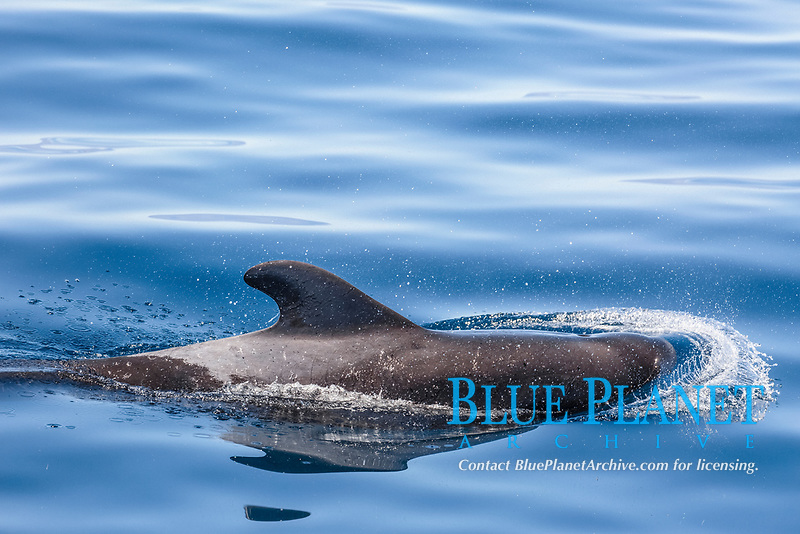 Adult short-finned pilot whale, Globicephala macrorhynchus, surfacing near Isla Danzante, BCS, Mexico.