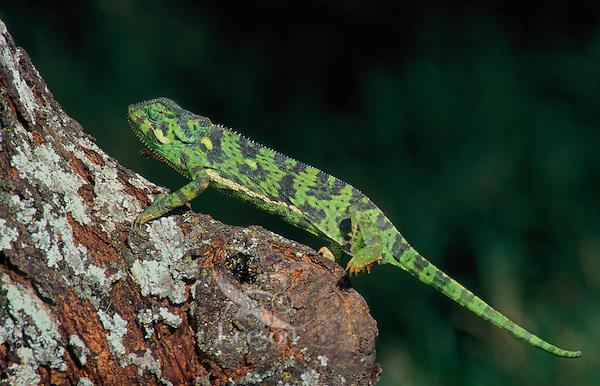 FLAP-NECKED CHAMELEON..Most common African chameleon..Serengeti National Park, Tanzania..(Chamaeleo dilepis).