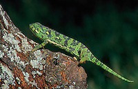 FLAP-NECKED CHAMELEON..Most common African chameleon..Serengeti National Park, Tanzania..(Chamaeleo dilepis).