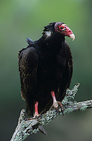 Turkey Vulture, Cathartes aura,adult, Starr County, Rio Grande Valley, Texas, USA, May 2002