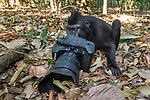 Juvenile Sulawesi or Celebes crested macaque or Sulawesi or Celebes black macaque (Macaca nigra)(known locally as yaki or wolai) investigating camera. Tangkoko National Park, Sulawesi, Indonesia.