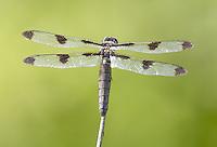 Twelve-spotted Skimmer (Libellula pulchella) Dragonfly - Female, Silver Lake Preserve, West Harrison, Westchester County, New York