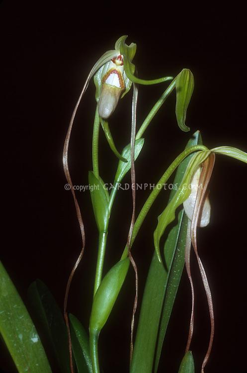 Phragmipedilum wallisii 'Hamish Hog', orchid species