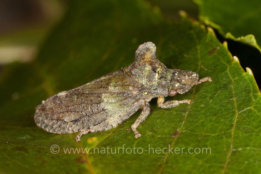 Echte Ohrenzikade, Ohrzikade, Ohren-Zikade, Ohr-Zikade, Ohrzirpe, Ohrenzirpe, Ledra aurita, ear cicada