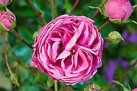 Rosa Pomponella ('Korpompan') rose, lavender pink