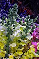 Flores. Boca-de-leão ( Antirrhinum majus). SP. Foto de Manuel Lourenço.