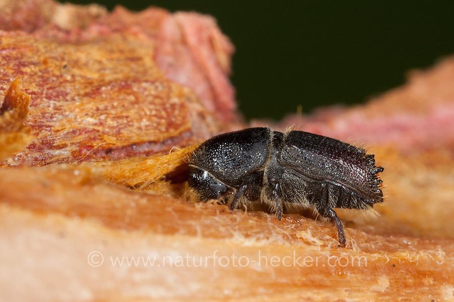 Borkenkäfer, Borken-Käfer, Ips spec., Ips cf. sexdentatus,  bark beetle, Schädlinge, Schädling