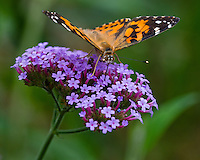 Painted Lady Butterfly (Vanessa cardui) nectaring in flower garden.  Oregon.  July.