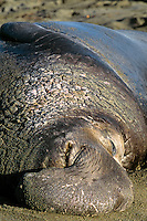 Large male Northern Elephant Seal (Mirounga angustirostris) resting on beach.