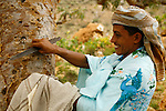 . Recolt of the gum of the Socotran Frankincense (Boswellia elongata) nerzaby Homhil valley Socotra island. Yemen