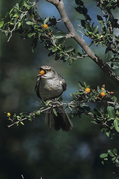 Northern Mockingbird (Mimus polyglottos),adult eating berries of Desert Hackberry (Celtis pallida),Starr County, Rio Grande Valley, Texas, USA