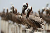 Adult Brown Pelicans (Pelecanus occidentalis) on pilings. Baldwin County, Alabama. June.