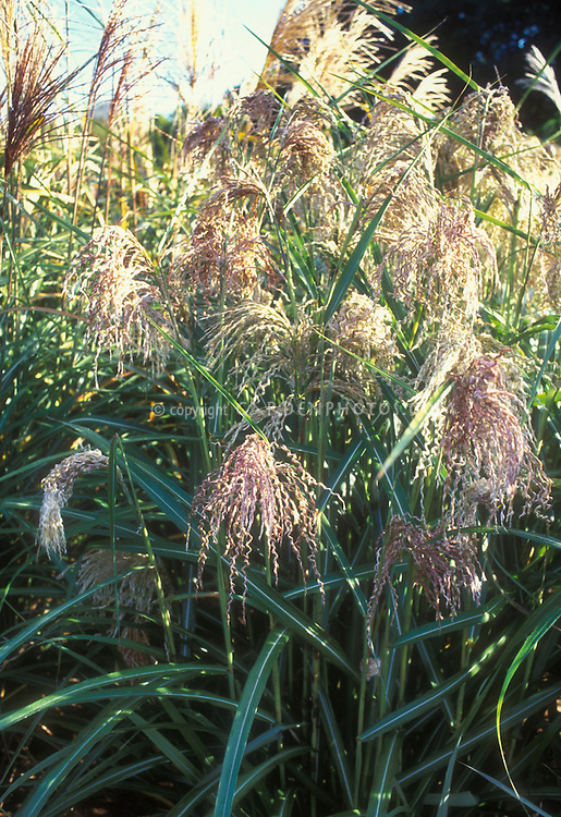 Miscanthus sinensis Zwergelefant aka Miscanthus oligonensis Zwergelefant ornamental grass