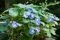 Ipomoea tricolor vine, Annual Morning Glory, in blue and purple star colors, growing with another tender vine, Gloriosa superba 'Rothschildianum'