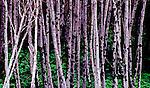 Birch tree trunks against cliff side vegetation at Third Beach, Olympic National Park, Washington. Olympic Peninsula