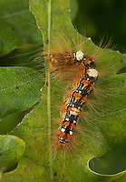 Orion-Eule, Orioneule, Orion, Seladoneule, Seladon-Eule, Raupe frisst an Eiche, Moma alpium, Diphthera alpium, caterpillar, Scarce Merveille du Jour, Eulenfalter, Noctuidae, noctuid moths, noctuid moth