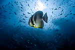 Platax teira, also known as the teira batfish, longfin batfish, longfin spadefish, or round faced batfish