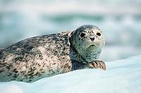 harbor seal, Phoca vitulina, LaConte Bay, Alaska, Pacific Ocean